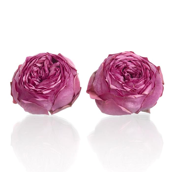 Garden Rose Pink Piano 3,5-4cm