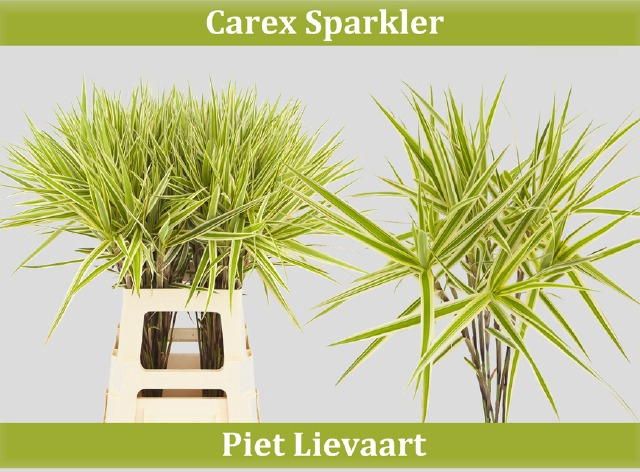 <h4>CAREX PH SPARKLER</h4>