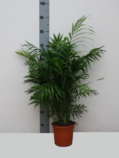 <h4>Chamaedorea elegans 21Ø 100cm</h4>