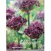 Allium   ...flowerbulbs