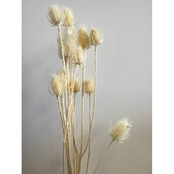 <h4>DRIED FLOWERS - ECHINOPS BLEACHED</h4>