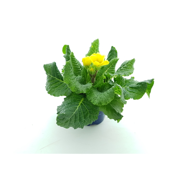 <h4>Primula el. Perola light yellow</h4>