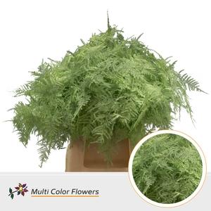 Asparagus 1e V Mint