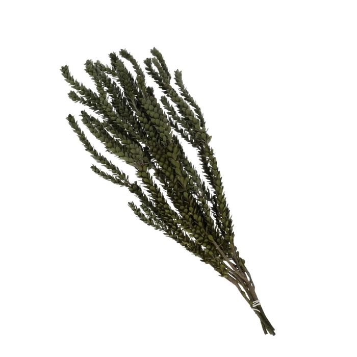 <h4>Droogbloem Buxifolia preserved 50cm 75g</h4>