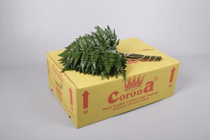 <h4>Ledervaren Junior Corona</h4>