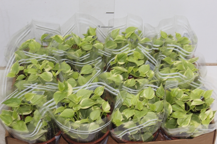 <h4>PEPEROMIA SCANDENS C13</h4>