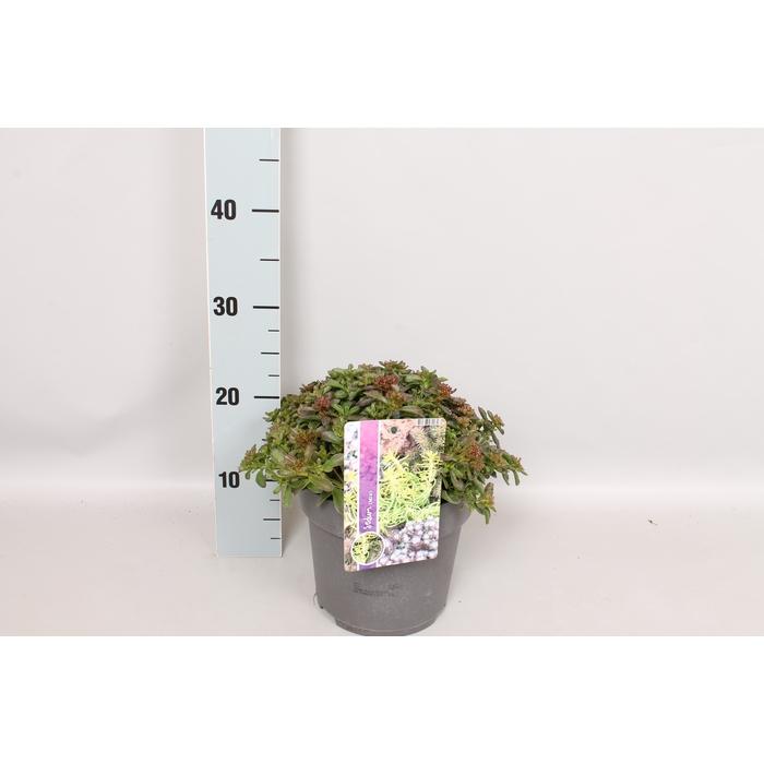 <h4>vaste planten 19 cm  Sedum Spurium Purpurteppich</h4>