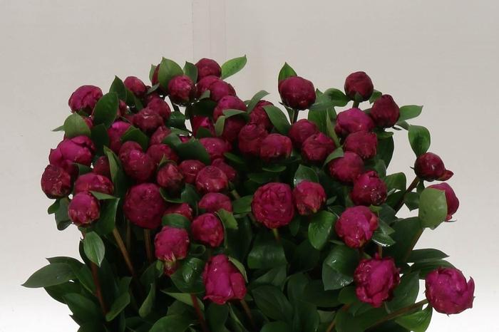 <h4>Paeonia L Red Sarah Bernhardt</h4>