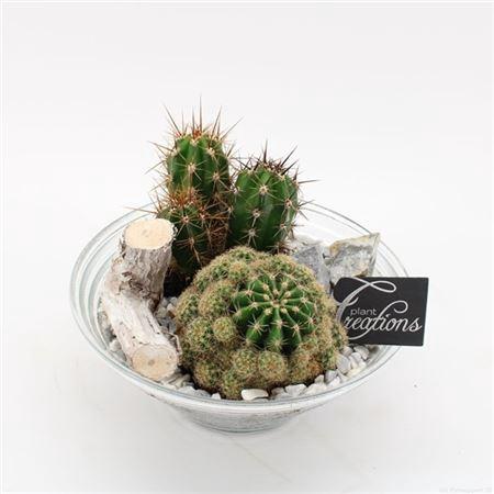 <h4>Ctcr-2129 Cactus Essentials</h4>