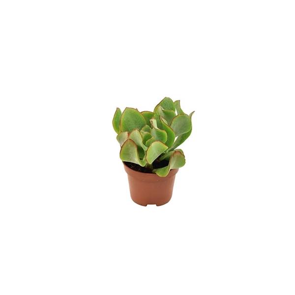 <h4>Crassula Arborescens Undulatifolia - Basic</h4>
