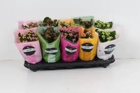 <h4>KALANCHOE ROSE FLOWER SURTIDO 5 COL</h4>