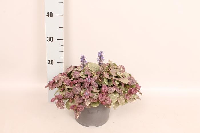 <h4>vaste planten 19 cm  Ajuga reptans Burgundy Glow</h4>