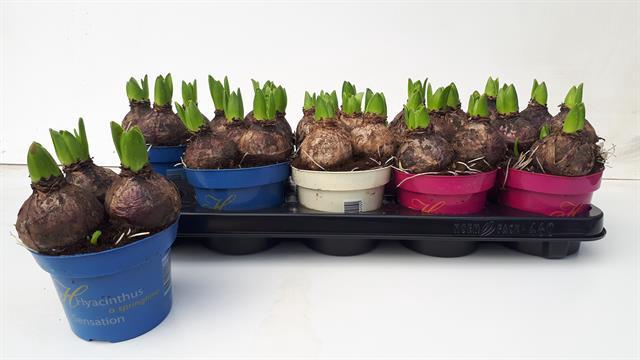 <h4>Hyacinthus mix 3klr</h4>