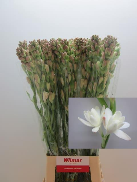 <h4>POLIANTHES TUBEROSA</h4>