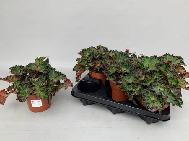 <h4>Begonia Rex Escargot</h4>