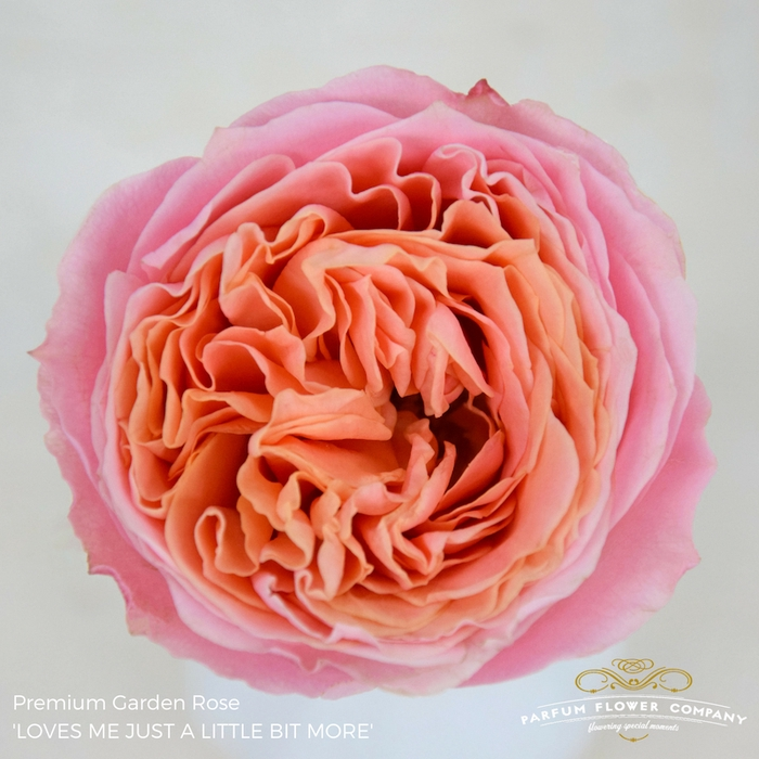 <h4>R GR GARDEN ROSE LOVE ME</h4>