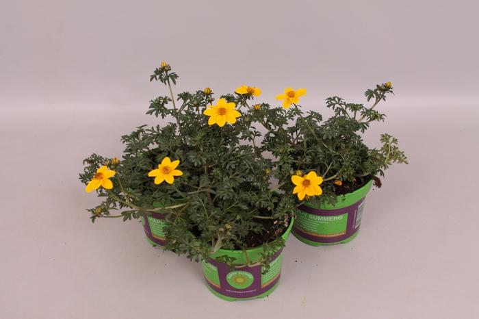 <h4>Bidens Yellow Sunshine</h4>