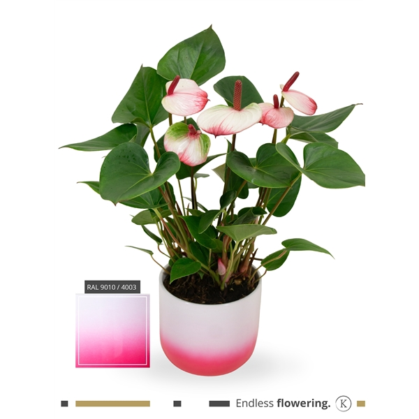 <h4>KARMA - Hotlips Anthurium | Ceramic Radiant 14cm | art. RAD14PWI-HOT12</h4>
