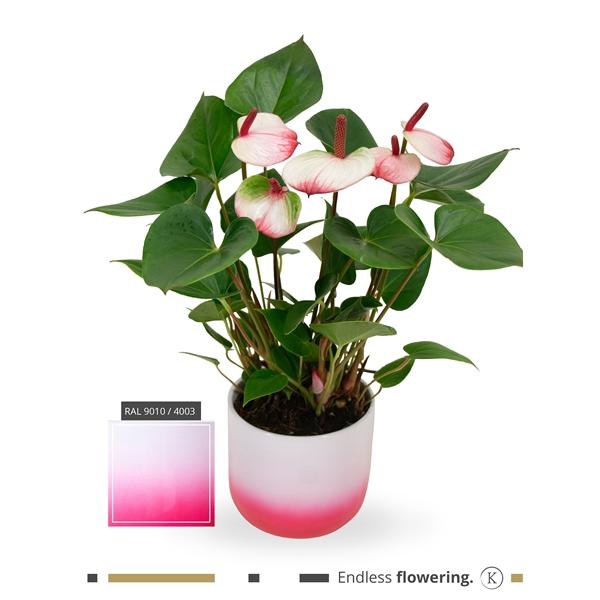 <h4>KARMA - Hotlips Anthurium   Ceramic Radiant 14cm   art. RAD14PWI-HOT12</h4>