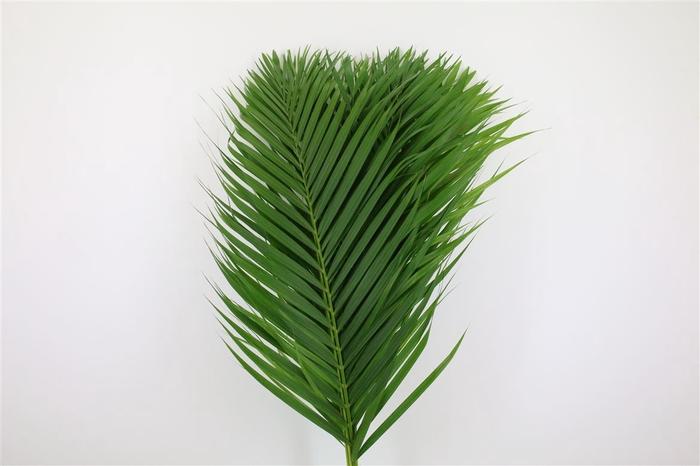 <h4>Cane Palm 80cm</h4>