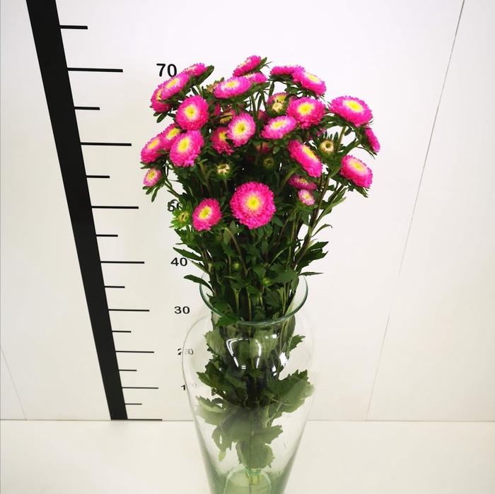 Callistephus rosa