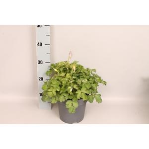 vaste planten 19 cm  Aquilegia Light Blue & White