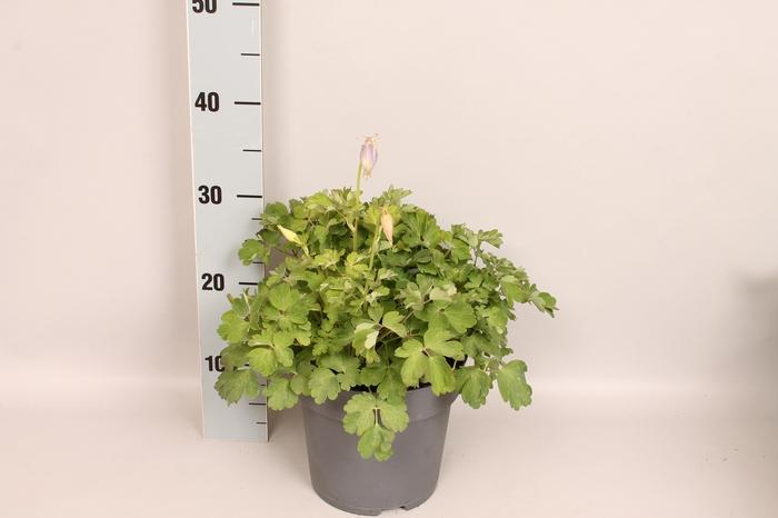 <h4>vaste planten 19 cm  Aquilegia Light Blue & White</h4>
