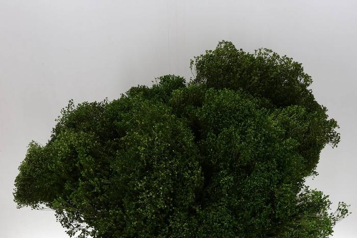 <h4>Broom Bloom Verde (P. Bos) geprepareerd</h4>