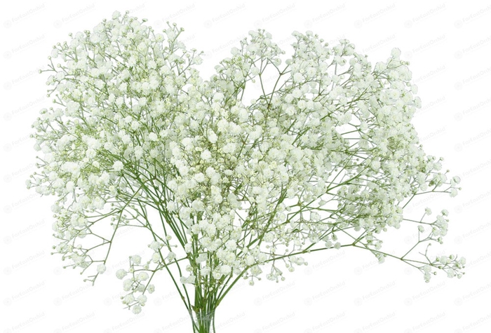Gypsophila Xlence 750gr