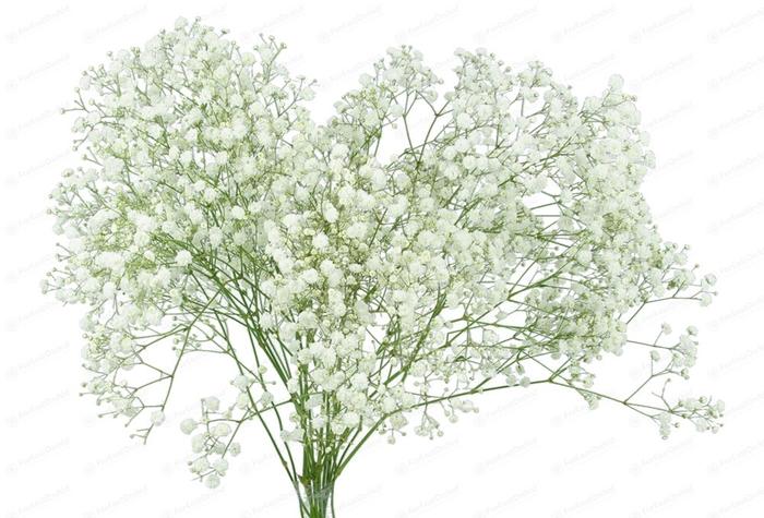 Gypsophila Xlence 30gr x10tallos