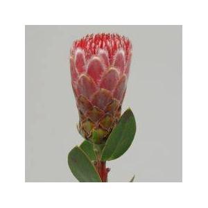 Protea Ivy