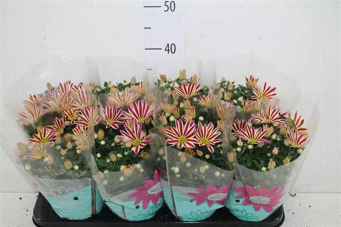 <h4>Chrysanth Rainbow Circus</h4>