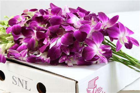 <h4>Dendrobium Lila Wit ( Prl )</h4>