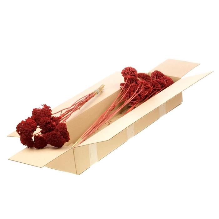 <h4>Achillea parker SB red</h4>