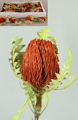 <h4>Banksia Baxterii Red Box(25p)</h4>