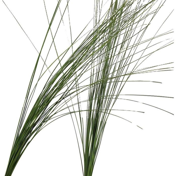 <h4>Steelgrass</h4>