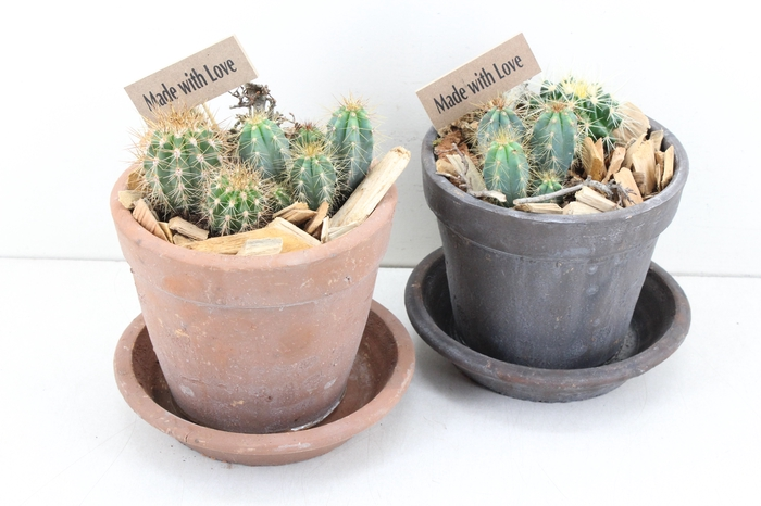 arr.. Cactus MB - Schotel pot mix