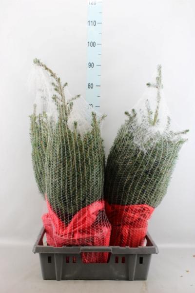 <h4>Picea omorika</h4>