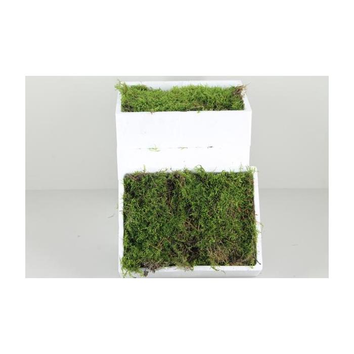 <h4>Moss 'platmos' Styropor(small)</h4>