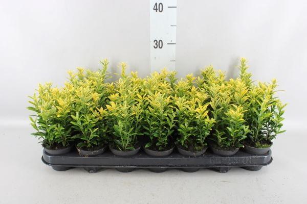<h4>Euonymus japon. 'Micro. Aureovarie'</h4>