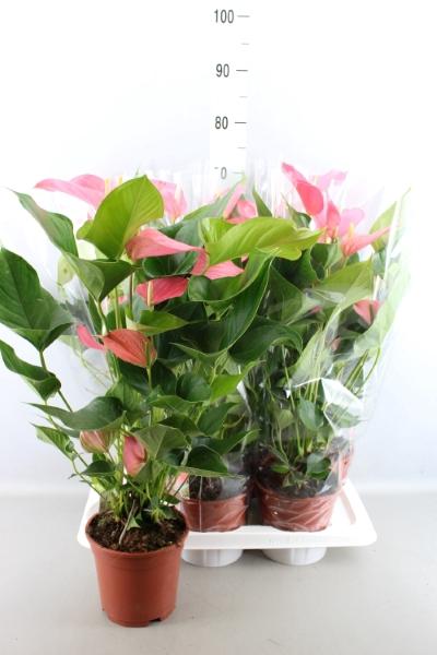 <h4>Anthurium andr. 'Pink Explosion'</h4>