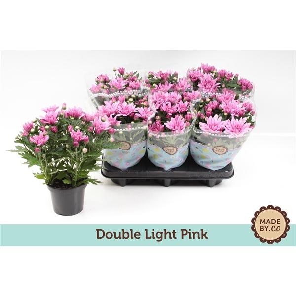 <h4>Chrysanthemum Artistic Pink</h4>
