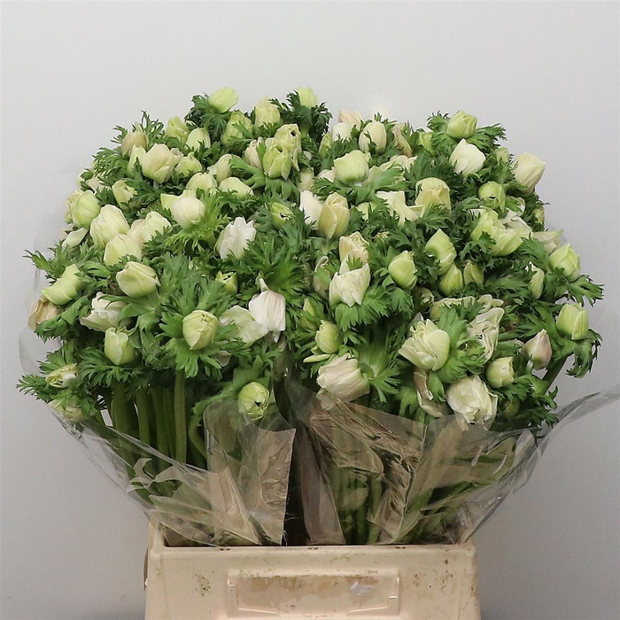 <h4>Anem Co Mar White</h4>