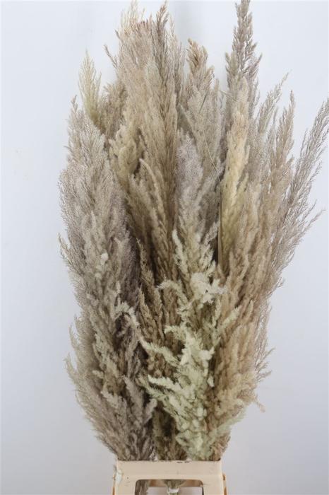 <h4>Dried Cortaderia Naturel 90-130cm</h4>