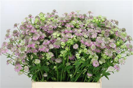 <h4>Astrantia Perfect Lilac</h4>