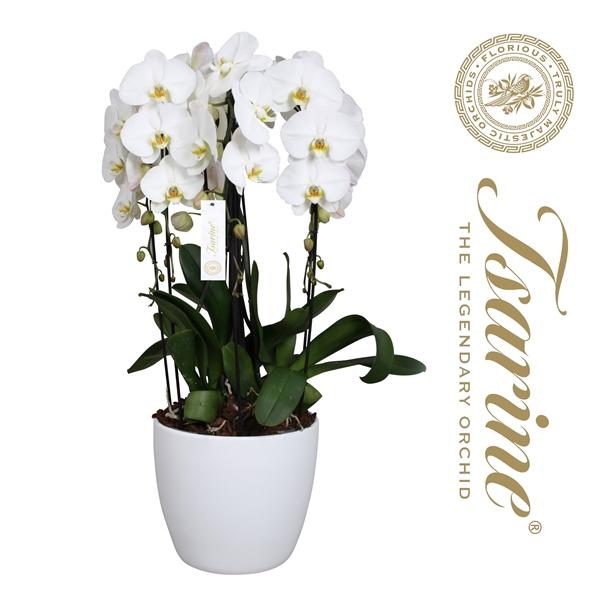 <h4>Tsarine® Nr32 Wit Crown XL</h4>