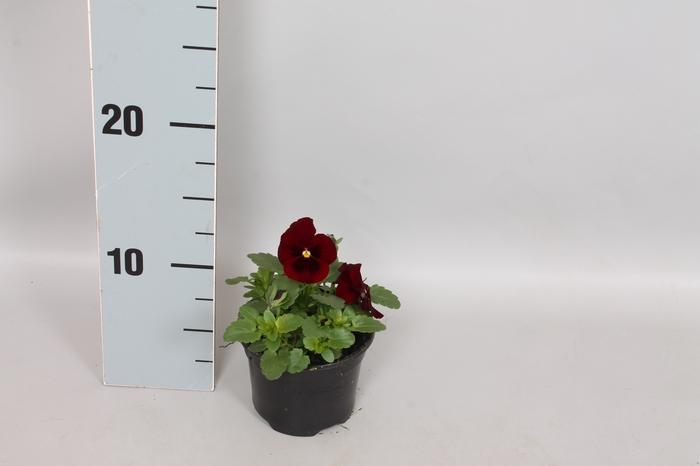 Viola cornuta F1 Red Blotch