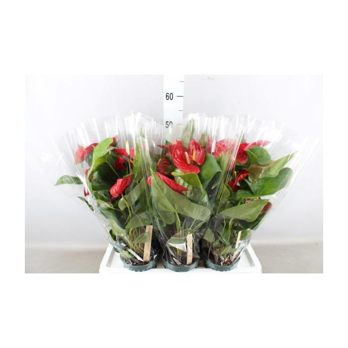 <h4>Anthurium andr. 'Nevada'</h4>