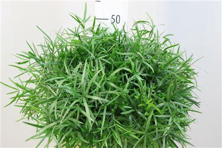 <h4>Asparagus Falcatus 40</h4>