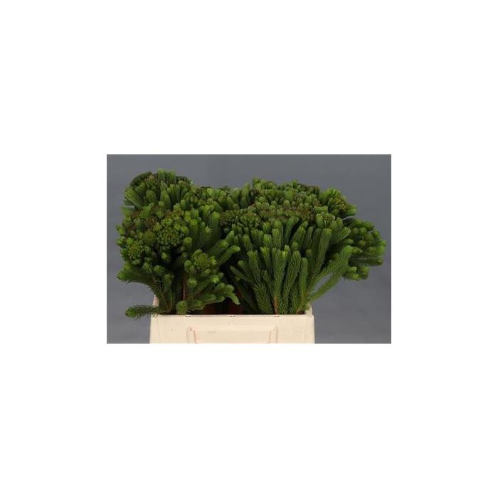 <h4>Albiflora 40 Cm</h4>